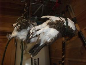 Rypa henges vannrett med hodet under vingen og disse bundet inn til kroppen.